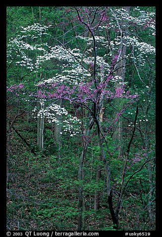 Redbud and Dogwood, Bernheim forest. Kentucky, USA