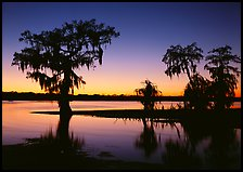Bald Cypress at sunset on Lake Martin. Louisiana, USA (color)