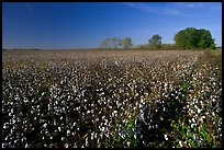 Rows of cotton plants. Louisiana, USA