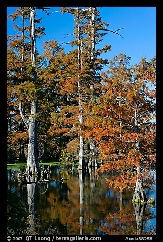 Bald cypress in fall color. Louisiana, USA (color)