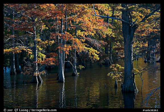 Swamp and cypress with needles in fall color. Louisiana, USA (color)