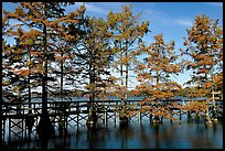 Boardwalk and bald cypress on Lake Providence. Louisiana, USA (color)
