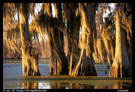 Trees covered by Spanish Moss at sunset, Lake Martin. Louisiana, USA (color)