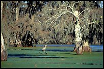 Bird in the swamp, Lake Martin. Louisiana, USA (color)
