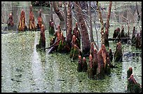 Cypress Knees in Reelfoot National Wildlife Refuge. Tennessee, USA (color)