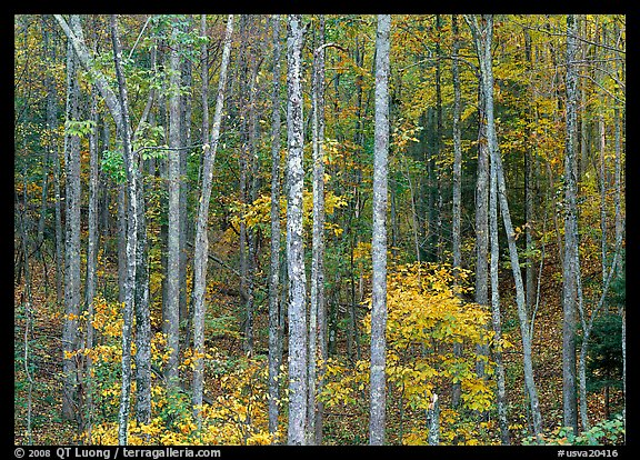 Trees in fall color, Blue Ridge Parkway. USA (color)