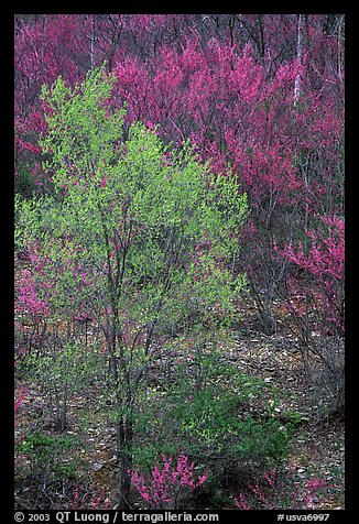 Redbud tree in bloom and tree leafing out. Virginia, USA (color)