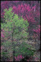 Redbud tree in bloom and tree leafing out. Virginia, USA ( color)