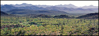 Desert landscape with cactus and distant mountains. Organ Pipe Cactus  National Monument, Arizona, USA (Panoramic color)