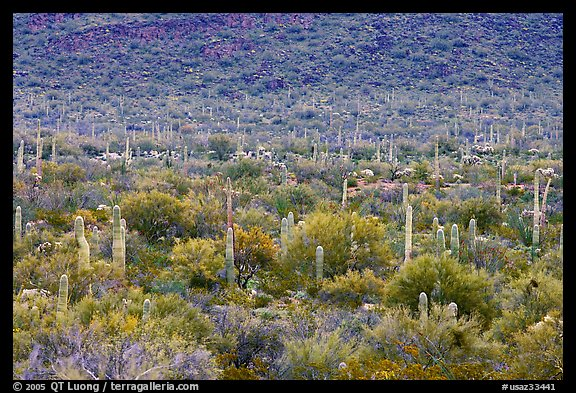 Verdant desert valley bottom with cactus, North Puerto Blanco Drive. Organ Pipe Cactus  National Monument, Arizona, USA (color)