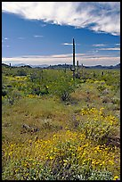 Britlebush in bloom, saguaro cactus, and mountains. Organ Pipe Cactus  National Monument, Arizona, USA ( color)