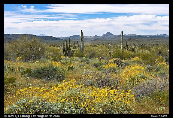Desert in bloom with britlebush,  saguaro cactus, and mountains. Organ Pipe Cactus  National Monument, Arizona, USA (color)