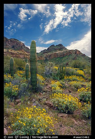 Cactus, field of brittlebush in bloom, and Ajo Mountains. Organ Pipe Cactus  National Monument, Arizona, USA (color)