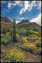Cactus, field of brittlebush in bloom, and Ajo Mountains. Organ Pipe Cactus  National Monument, Arizona, USA ( color)