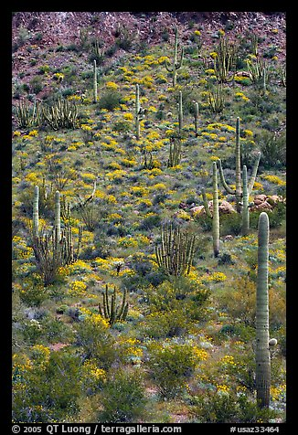 Slope with cactus and brittlebush, Ajo Mountains. Organ Pipe Cactus  National Monument, Arizona, USA (color)