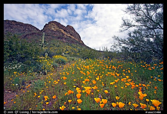 Mexican Poppies and Ajo Mountains. Organ Pipe Cactus  National Monument, Arizona, USA (color)
