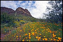 Mexican Poppies and Ajo Mountains. Organ Pipe Cactus  National Monument, Arizona, USA ( color)