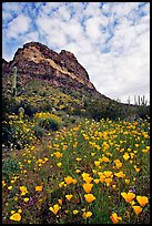 Mexican Poppies, cactus,  and Deablo Mountains. Organ Pipe Cactus  National Monument, Arizona, USA ( color)