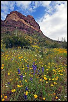Mexican Poppies, lupine,  and Ajo Mountains. Organ Pipe Cactus  National Monument, Arizona, USA (color)