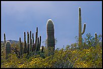 Saguaro cactus, approaching storm. Organ Pipe Cactus  National Monument, Arizona, USA ( color)