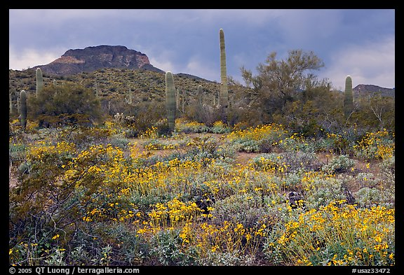 Brittlebush, cactus, storm clouds, and Ajo Mountains. Organ Pipe Cactus  National Monument, Arizona, USA (color)