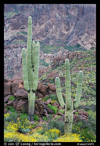 Multi-armed saguaro cactus in spring, Ajo Mountains. Organ Pipe Cactus  National Monument, Arizona, USA (color)
