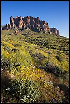 Brittlebush (Encelia farinosa) and craggy mountains, Lost Dutchman State Park, late afternoon. Arizona, USA (color)
