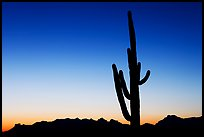 Multi-armed saguaro cactus, sunset, Lost Dutchman State Park. Arizona, USA
