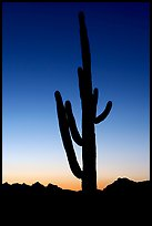Saguaro cactus silhoueted at sunset, Lost Dutchman State Park. Arizona, USA
