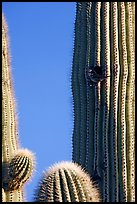 Cactus Wren nesting in a cavity of a saguaro cactus, Lost Dutchman State Park. Arizona, USA ( color)