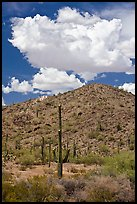 Saguaro cactus, hill, and clouds, Sonoran Desert National Monument. Arizona, USA ( color)