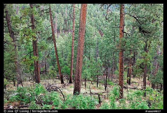 Pine trees, Apache National Forest. Arizona, USA (color)