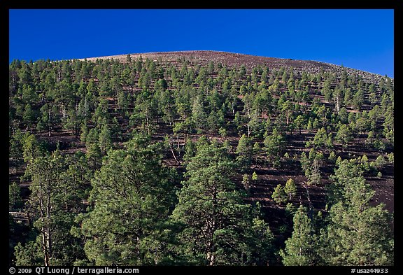 Pine trees on slopes of crater, Sunset Crater Volcano National Monument. Arizona, USA (color)