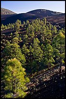 Pine trees growing on lava fields. Sunset Crater Volcano National Monument, Arizona, USA ( color)