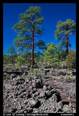 Hardened lava and pine trees, Coconino National Forest. Arizona, USA (color)