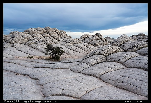 Lone tree on cross-bedding, White Pocket. Vermilion Cliffs National Monument, Arizona, USA (color)