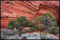 Trees and sandstone buttes, Coyote Buttes South. Vermilion Cliffs National Monument, Arizona, USA ( color)