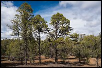 Ponderosa pine forest, Mt. Trumbull range. Parashant National Monument, Arizona, USA ( color)