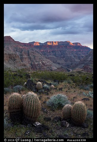 Barrel Cactus and last light on Grand Canyon rim. Parashant National Monument, Arizona, USA (color)