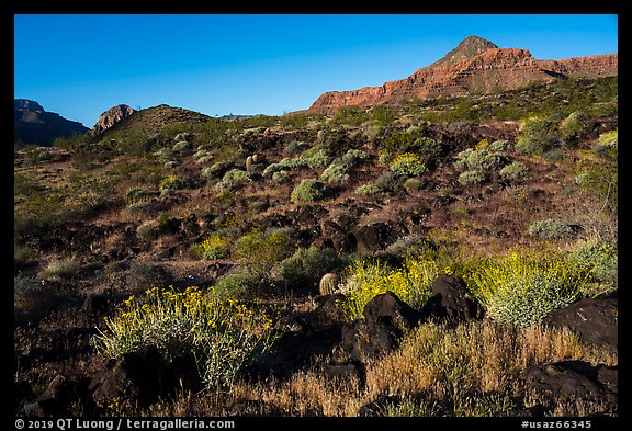 Whitmore Wash with Brittlebush in bloom. Parashant National Monument, Arizona, USA (color)