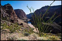 Ocotillo and Colorado River and Whitmore Wash. Parashant National Monument, Arizona, USA ( color)