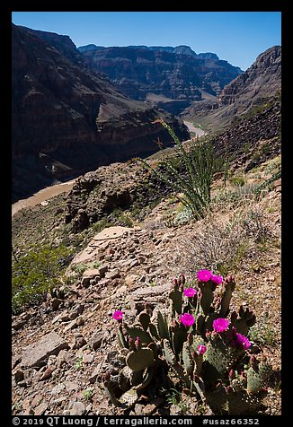 Cactus in bloom and Colorado River at Whitmore Wash. Parashant National Monument, Arizona, USA (color)