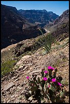 Cactus in bloom and Colorado River at Whitmore Wash. Parashant National Monument, Arizona, USA ( color)