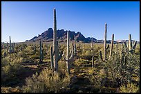 Saguaro cactus forest on Ragged Top North bajada. Ironwood Forest National Monument, Arizona, USA ( color)