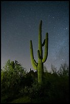 Saguaro cactus and stars at night. Ironwood Forest National Monument, Arizona, USA ( color)