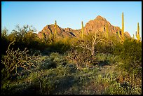Desert vegetation, Wolcott Peak and Ragged Top at sunrise. Ironwood Forest National Monument, Arizona, USA ( color)