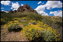 Carpet of brittlebush in bloom below Ragged Top. Ironwood Forest National Monument, Arizona, USA ( color)