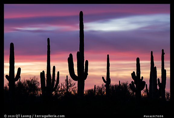 Saguaro cactus and sunset sky. Ironwood Forest National Monument, Arizona, USA (color)