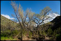Newly leafed tree, Badger Springs Canyon. Agua Fria National Monument, Arizona, USA ( color)
