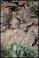 Cacti and petroglyphs, Badger Springs Canyon. Agua Fria National Monument, Arizona, USA ( color)